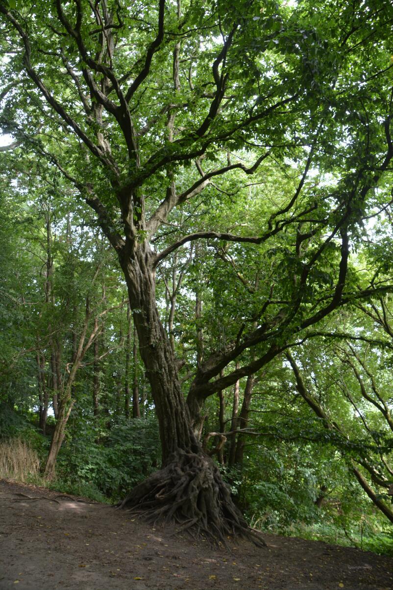 Knorrige Baumgestalten