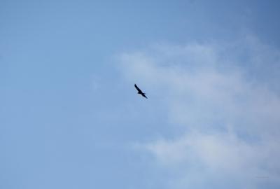 Kreisender Seeadler