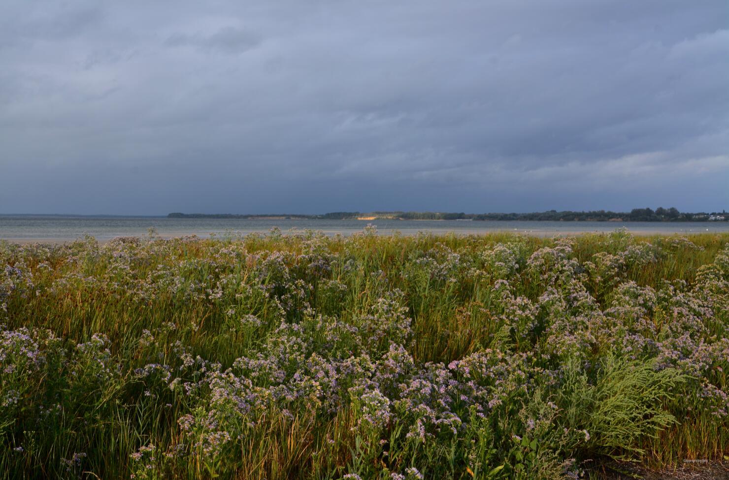 Blütenmeer aus Strandastern